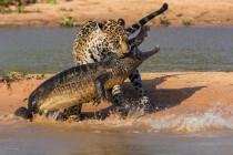jaguar i kajman braz.